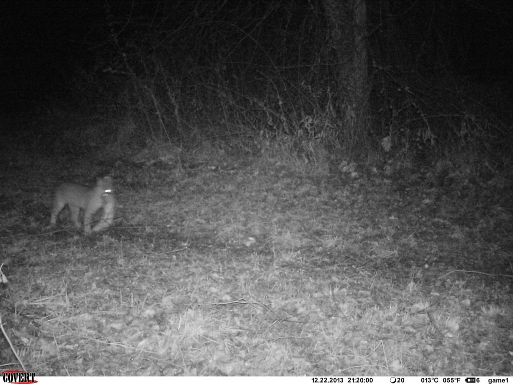 Bobcat returning with its dinner