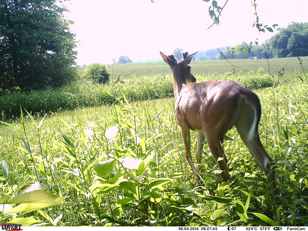 Buck with antlers just starting to grow