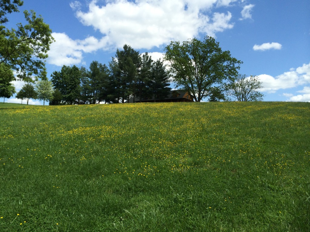Buttercups on the hill behind the house