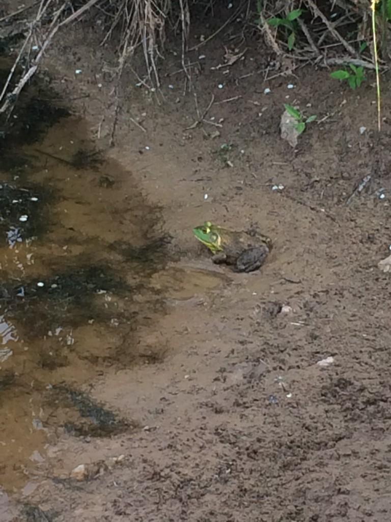 Bullfrog in the barn pond