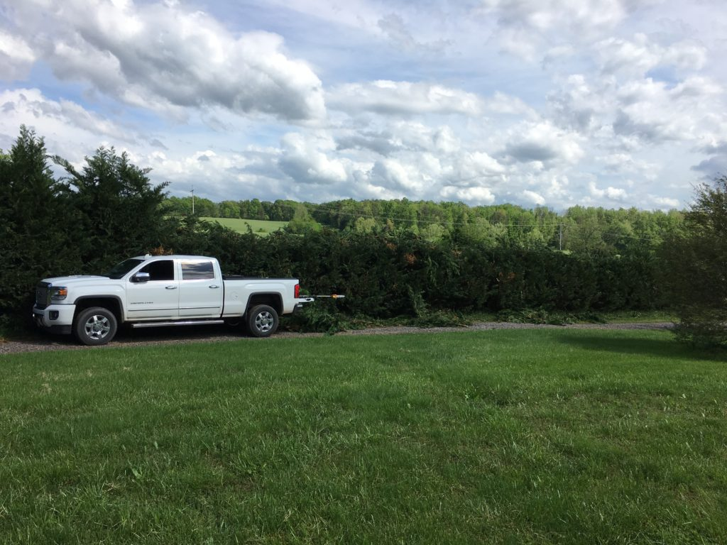 Initial hedge trim at about 10ft high